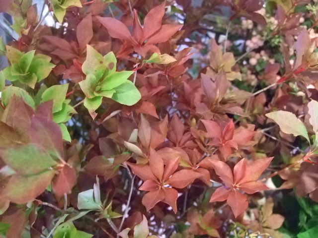 オークリーフ(秋バラの季節へ・・)_f0049672_15382554.jpg
