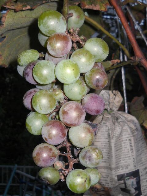 色づかない葡萄たち _f0018078_18544825.jpg