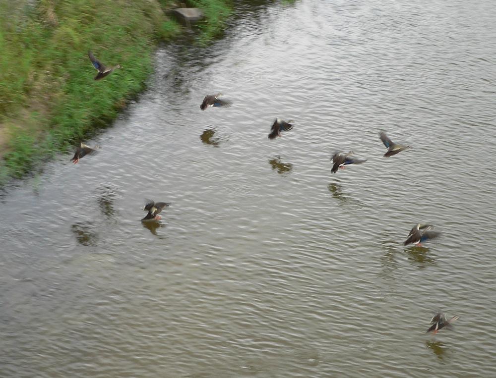 鴨の群れを驚かせる_d0001843_22374740.jpg