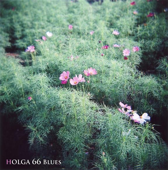 秋はこの花ですよね。HOLGAで(^^)/_f0115475_21174319.jpg