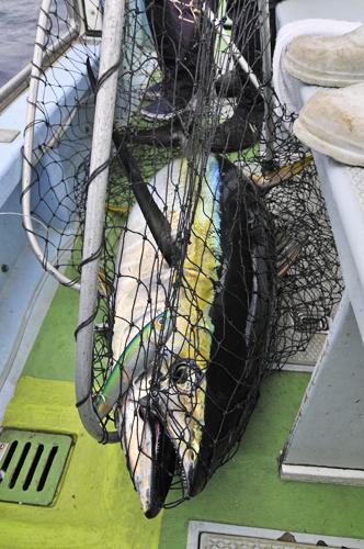 相模湾キハダマグロ 2010_d0143592_1942661.jpg