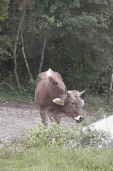そして牛は旅に出る・・・_f0106597_2314998.jpg