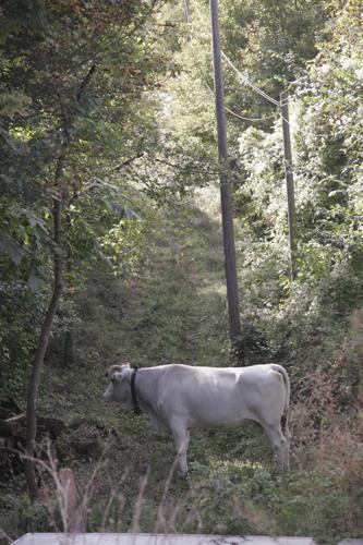 そして牛は旅に出る・・・_f0106597_23311262.jpg