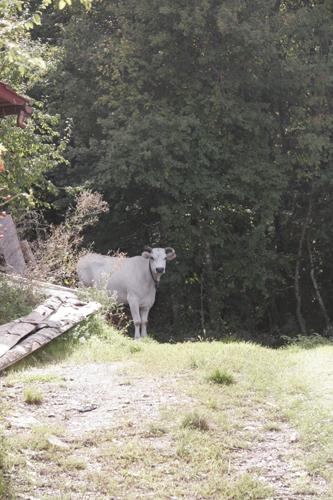 そして牛は旅に出る・・・_f0106597_2331187.jpg
