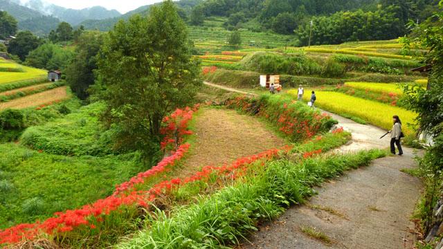 明日香村のヒガンバナ_e0048413_1958340.jpg