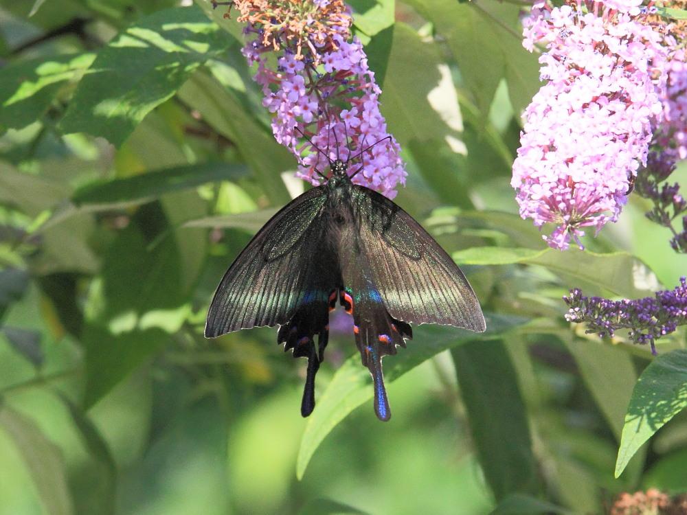 ミヤマカラスアゲハ  憧れの♀は夏型の大きな個体でした。  2010.8.21長野県_a0146869_5361024.jpg