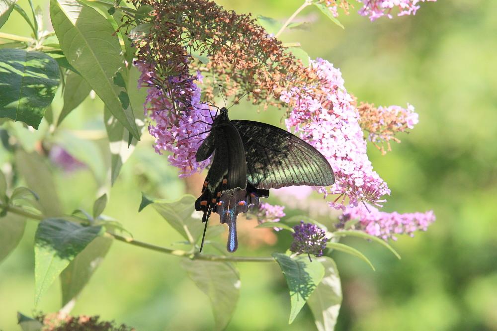 ミヤマカラスアゲハ  憧れの♀は夏型の大きな個体でした。  2010.8.21長野県_a0146869_5363985.jpg