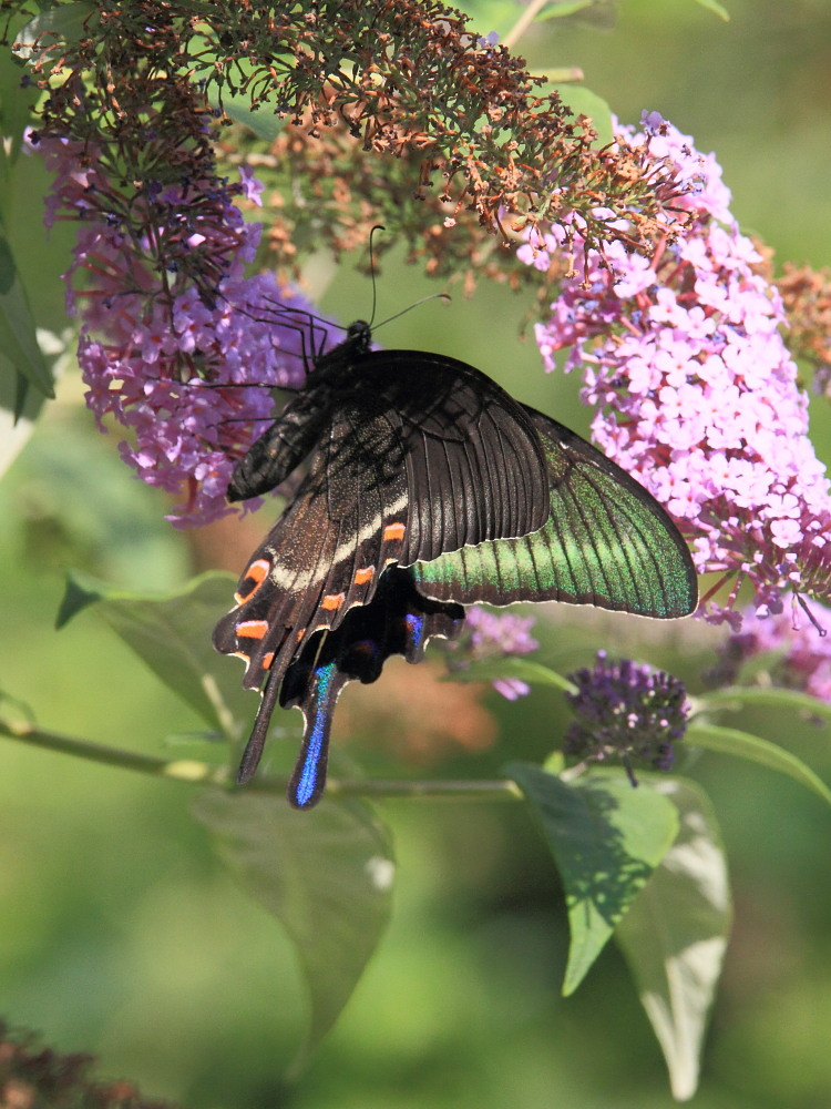 ミヤマカラスアゲハ  憧れの♀は夏型の大きな個体でした。  2010.8.21長野県_a0146869_537175.jpg