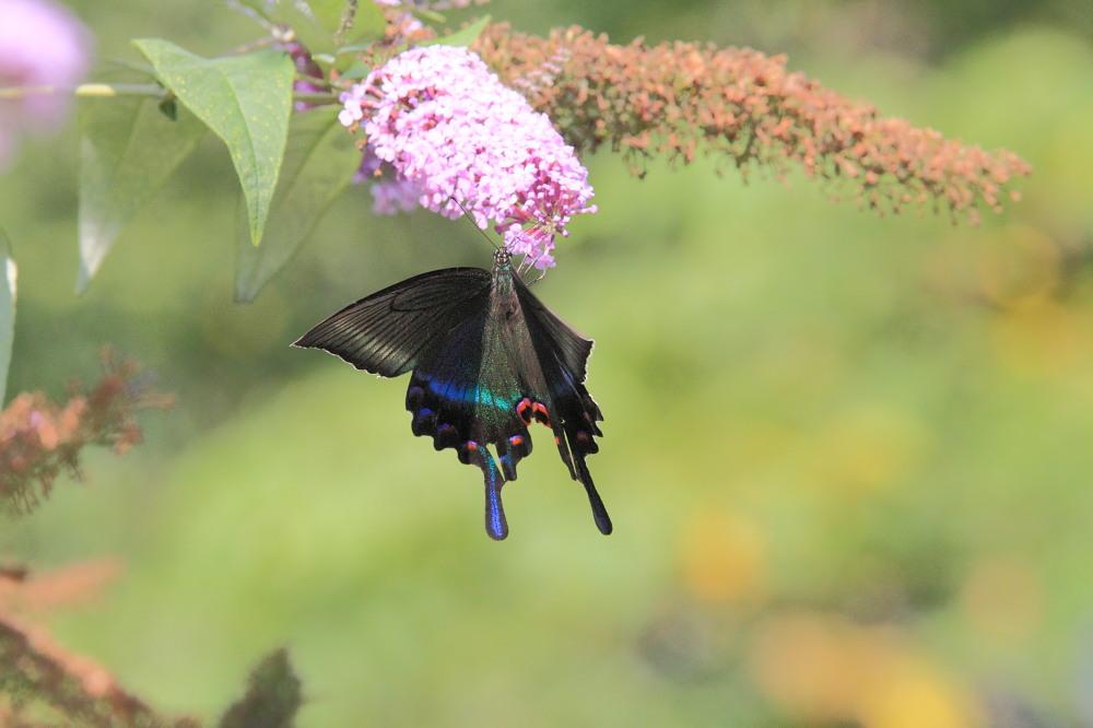 ミヤマカラスアゲハ  憧れの♀は夏型の大きな個体でした。  2010.8.21長野県_a0146869_538085.jpg