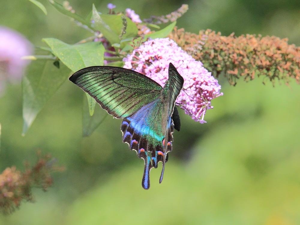 ミヤマカラスアゲハ  憧れの♀は夏型の大きな個体でした。  2010.8.21長野県_a0146869_5383177.jpg