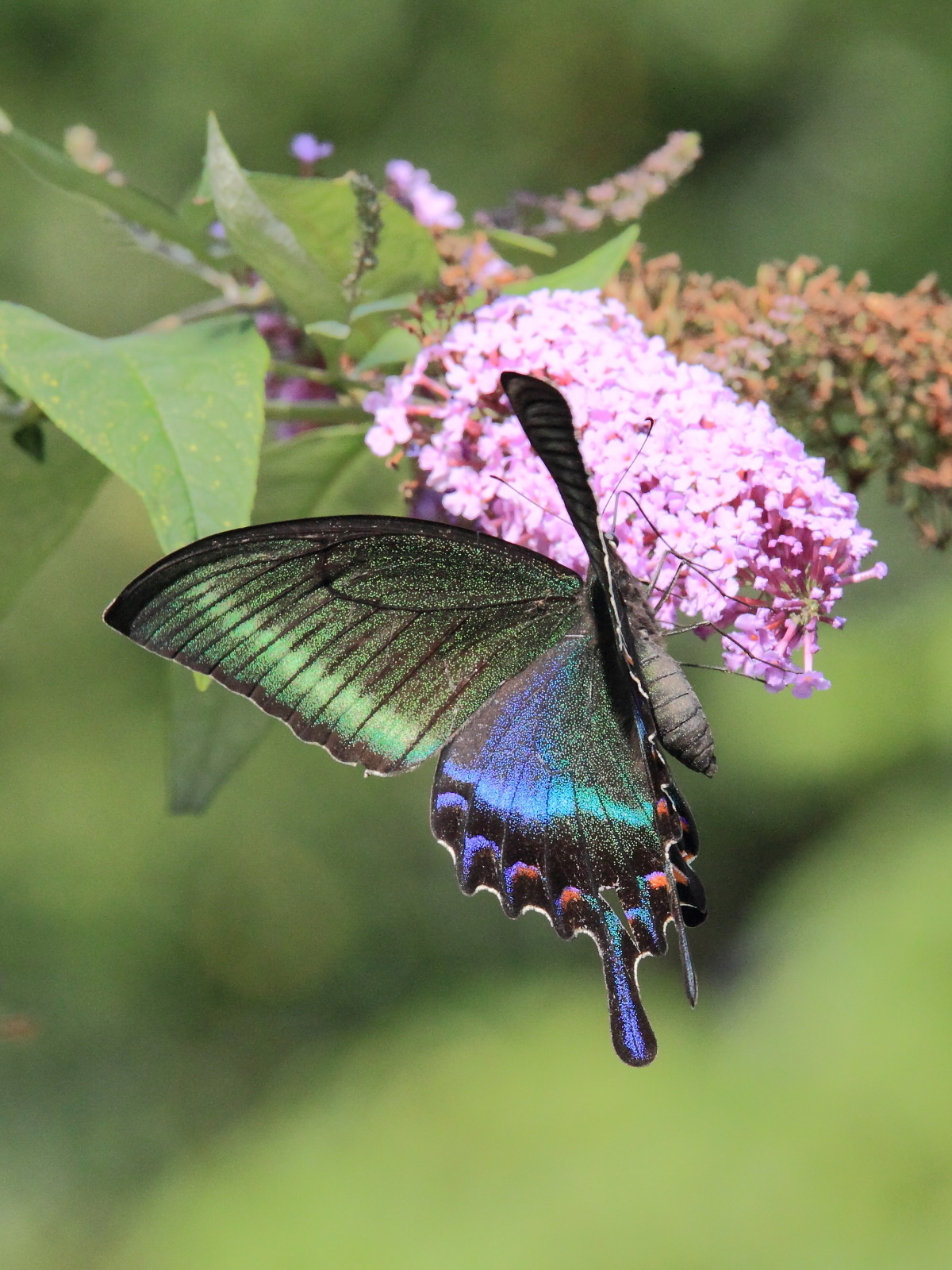ミヤマカラスアゲハ  憧れの♀は夏型の大きな個体でした。  2010.8.21長野県_a0146869_5384823.jpg