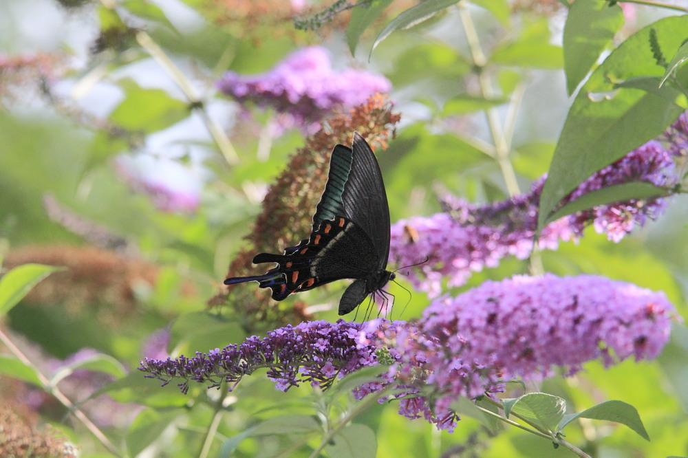 ミヤマカラスアゲハ  憧れの♀は夏型の大きな個体でした。  2010.8.21長野県_a0146869_5395325.jpg