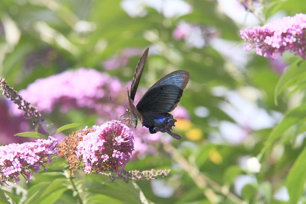 ミヤマカラスアゲハ  憧れの♀は夏型の大きな個体でした。  2010.8.21長野県_a0146869_5405147.jpg
