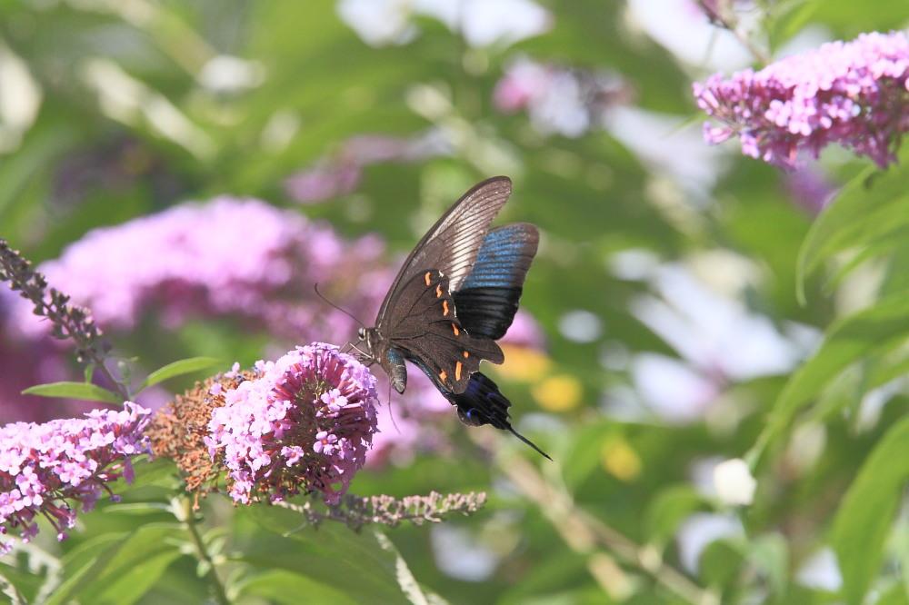 ミヤマカラスアゲハ  憧れの♀は夏型の大きな個体でした。  2010.8.21長野県_a0146869_5521297.jpg