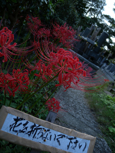 宝蔵院の彼岸花2_e0089232_201785.jpg