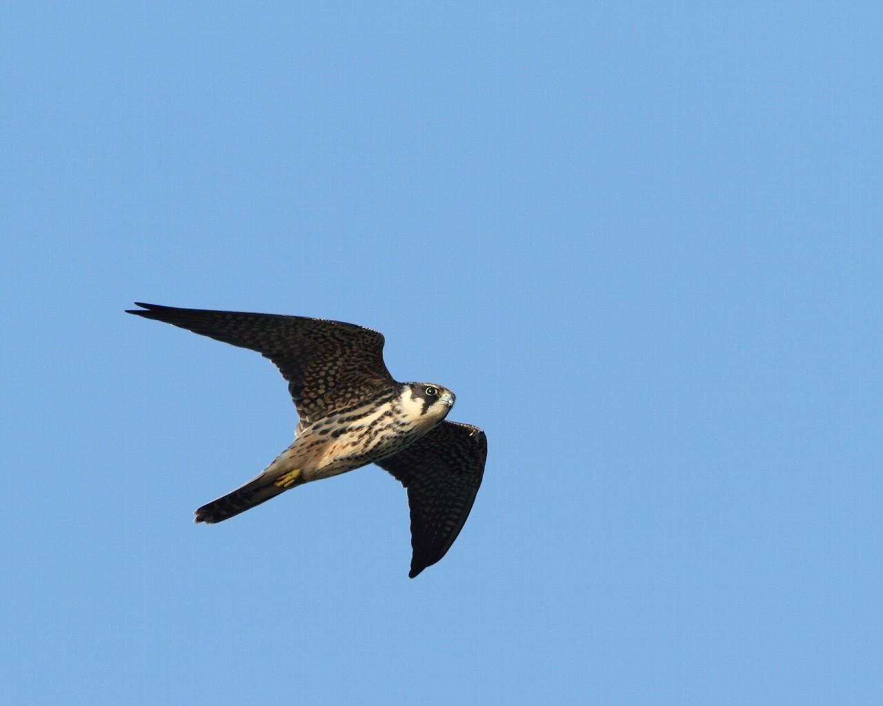伊良湖の猛禽たち_f0105570_21411997.jpg