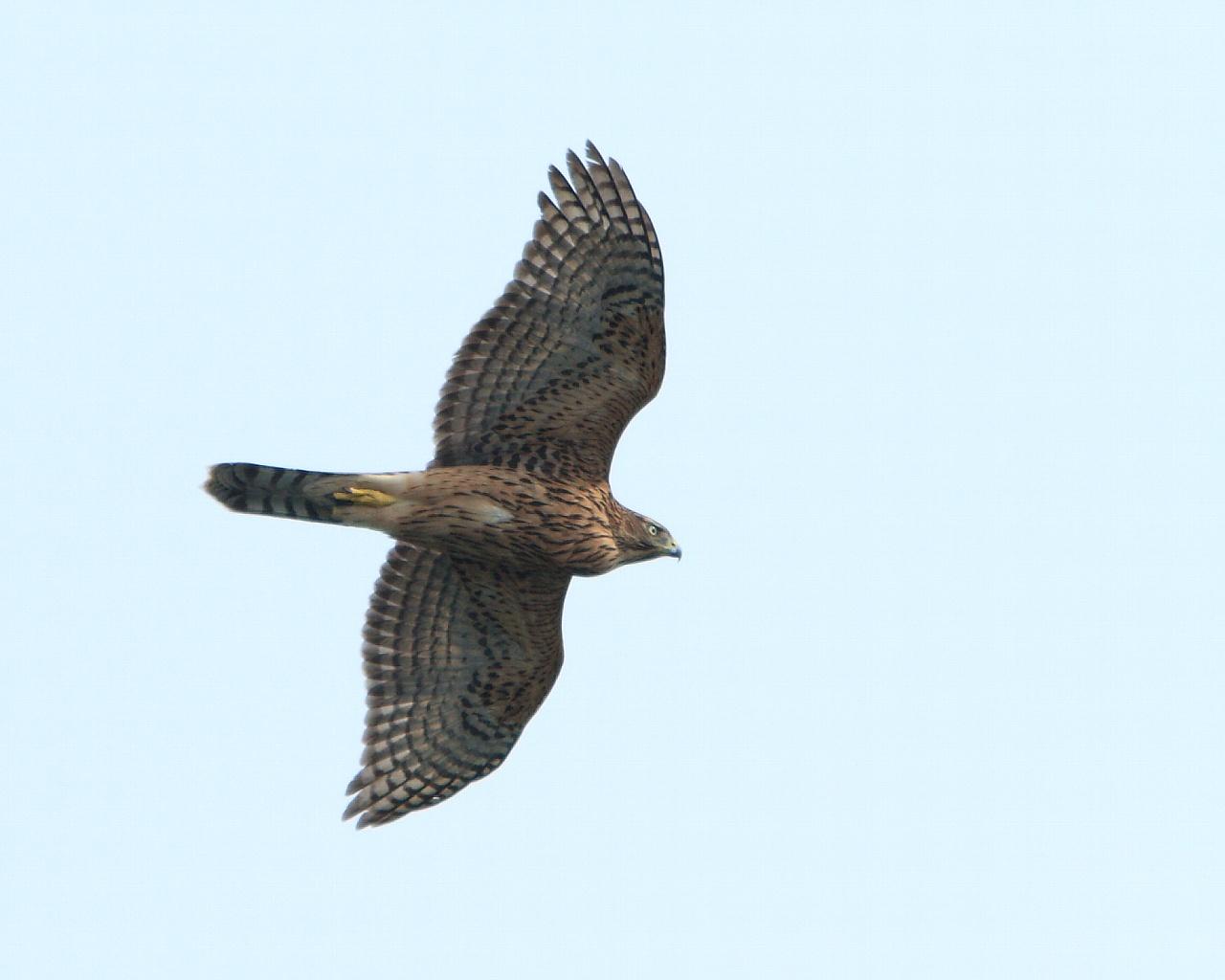伊良湖の猛禽たち_f0105570_21503686.jpg