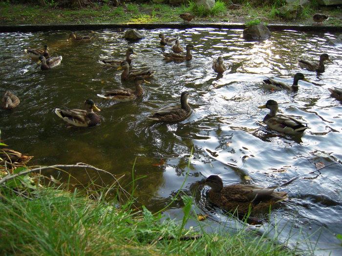 小川の浮き草と鴨_e0146210_14232826.jpg