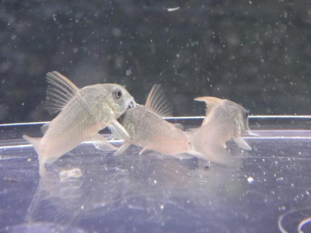 熱帯魚・水草・金魚_f0189122_13174077.jpg