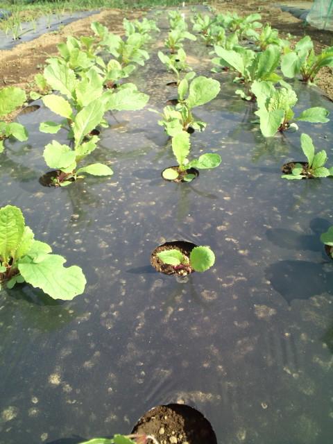 この季節らしい気温23℃・・湿度少なめ・・・野菜は元気です_c0222448_11532377.jpg