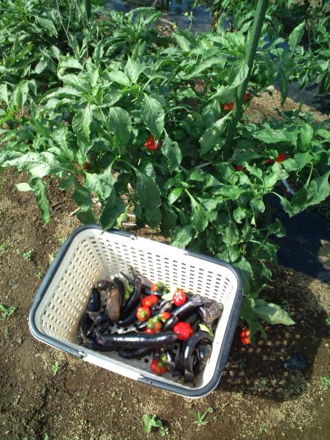 この季節らしい気温23℃・・湿度少なめ・・・野菜は元気です_c0222448_11542165.jpg