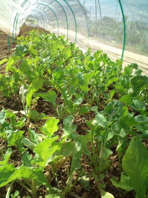 この季節らしい気温23℃・・湿度少なめ・・・野菜は元気です_c0222448_11554155.jpg