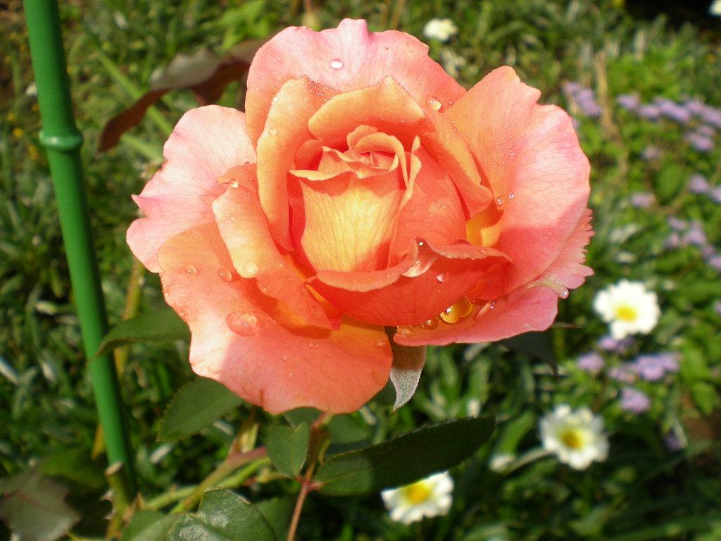2010年10月7日(木)秋なすとバラ!_f0060461_9345582.jpg