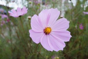秋を感じるコスモスが綺麗に咲いていた。_b0194208_2156428.jpg