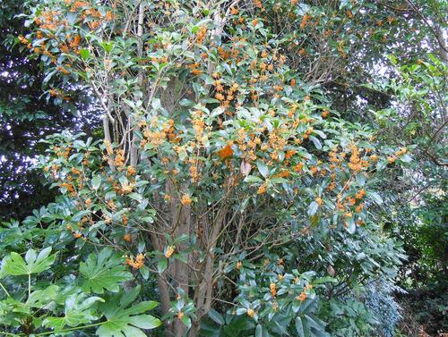 我が家の庭には、今咲いている木犀の他に、根際が1メートルを超える古い金... 金木犀(キンモクセ