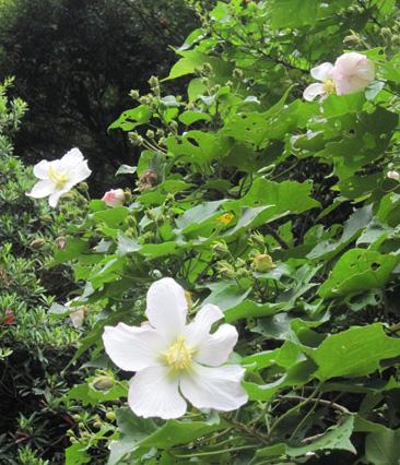 フヨウの花が咲いています_e0041337_1661770.jpg