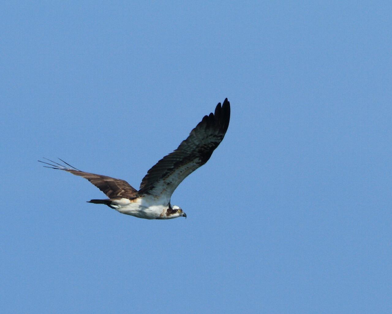 伊良湖の猛禽たち_f0105570_20574459.jpg