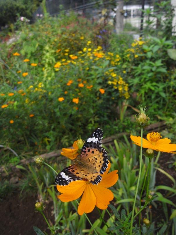 東京都練馬区のムラサキツバメ(幼虫、前蛹)など_c0045352_17261168.jpg