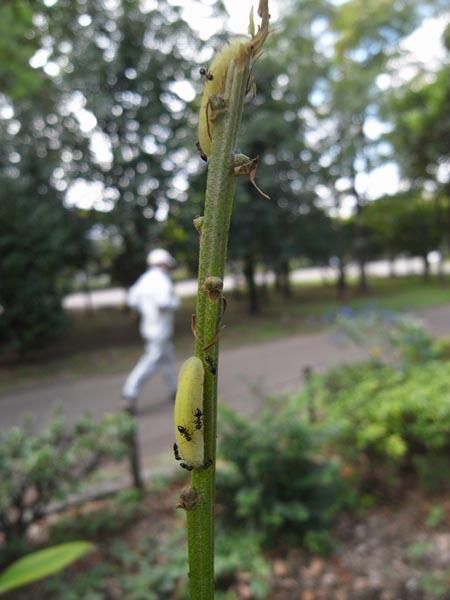 東京都練馬区のムラサキツバメ(幼虫、前蛹)など_c0045352_17264032.jpg