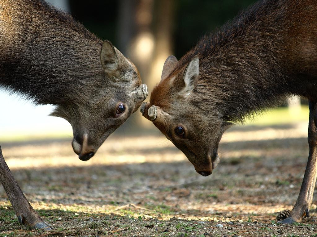「奈良公園の鹿 その3」_a0133692_1635846.jpg