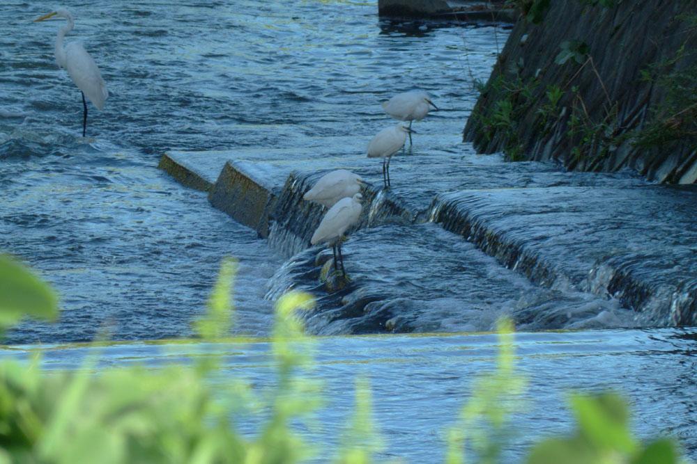 堰で餌捕りする サギさんたち と警戒心_e0088233_1123475.jpg