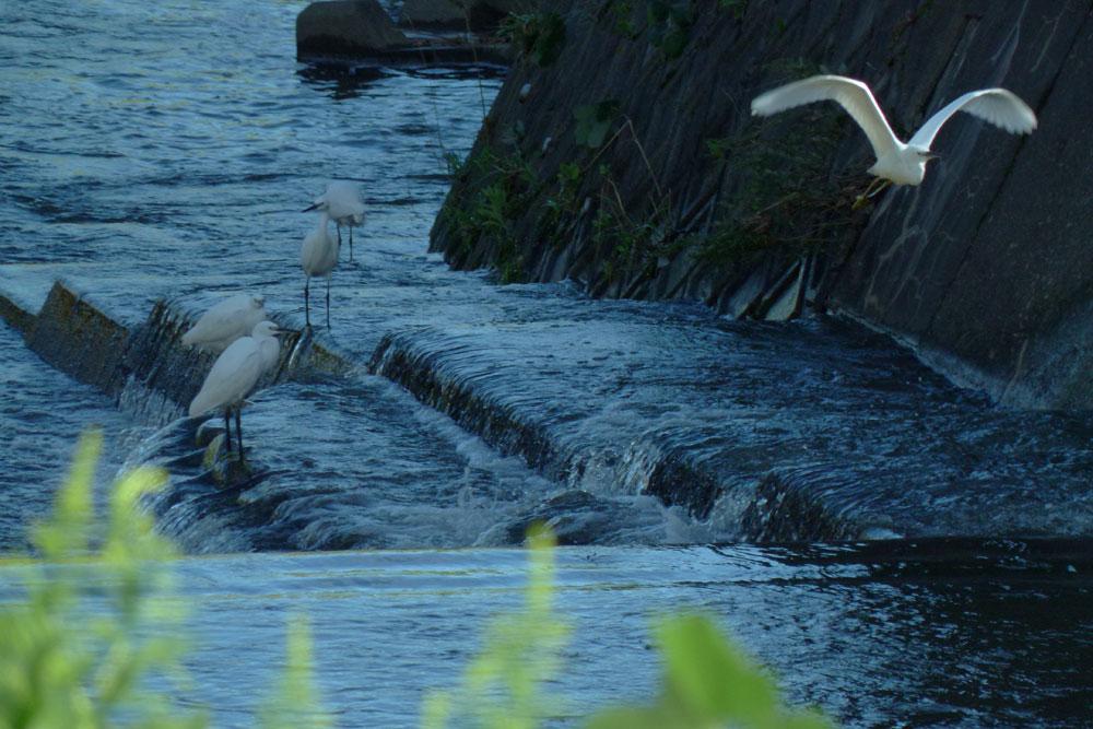 堰で餌捕りする サギさんたち と警戒心_e0088233_131301.jpg