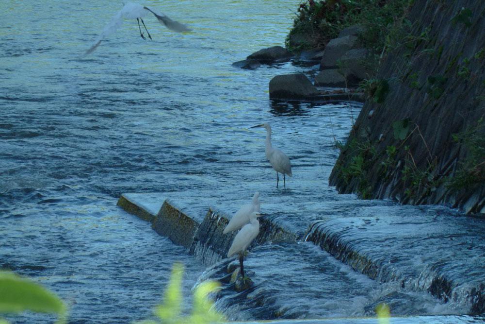 堰で餌捕りする サギさんたち と警戒心_e0088233_1431518.jpg