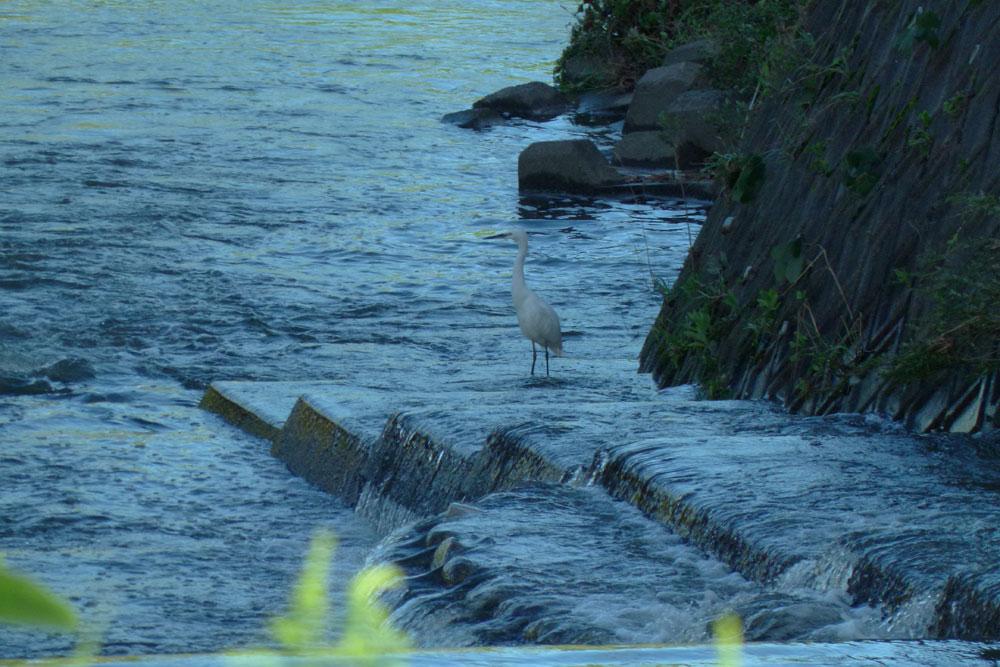 堰で餌捕りする サギさんたち と警戒心_e0088233_1565931.jpg