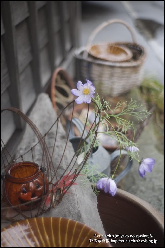 紫のコスモス!_f0042194_2131622.jpg
