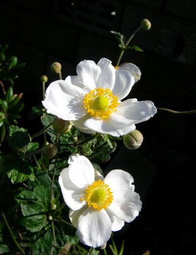 ぼちぼち咲いている花と、パンジー苗の植え替え_a0136293_17533775.jpg