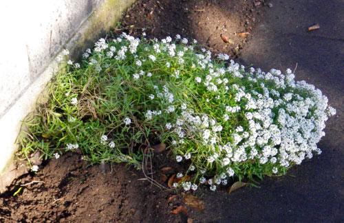 ぼちぼち咲いている花と、パンジー苗の植え替え_a0136293_17542328.jpg