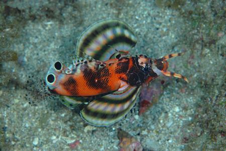 タテスジハタ幼魚&フリソデエビのペア!!_b0186442_21551639.jpg