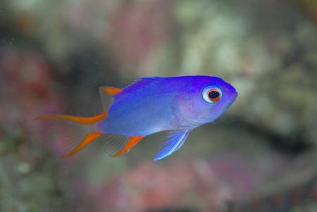 タテスジハタ幼魚&フリソデエビのペア!!_b0186442_21555452.jpg