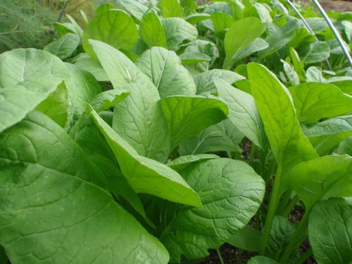 やっぱり有機栽培!肉厚でプリプリした小松菜!!_b0201492_1713868.jpg