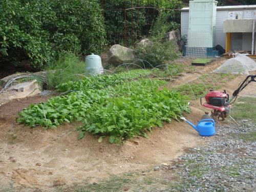 やっぱり有機栽培!肉厚でプリプリした小松菜!!_b0201492_172044.jpg