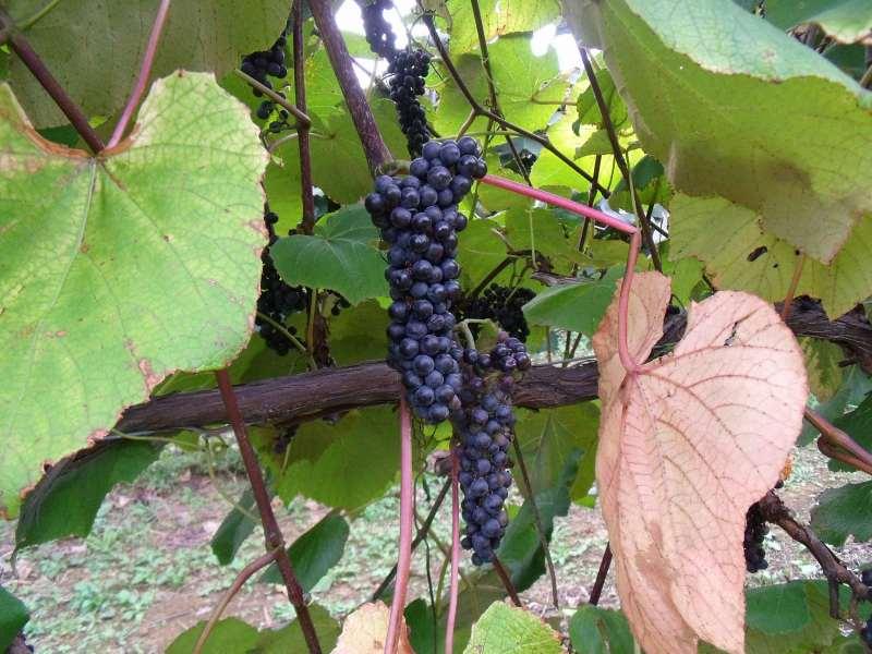 旬のヤマブドウを自宅で搾り、出来立てを飲む幸せといったら!しかし・・・・... 山ぶどうジュース
