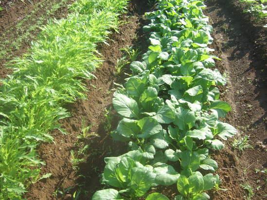 野菜畑のコスモス!....野菜の成長は順調です!_b0137932_19102412.jpg