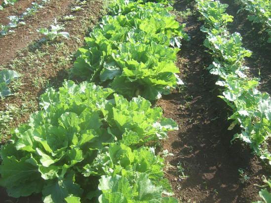 野菜畑のコスモス!....野菜の成長は順調です!_b0137932_1994978.jpg