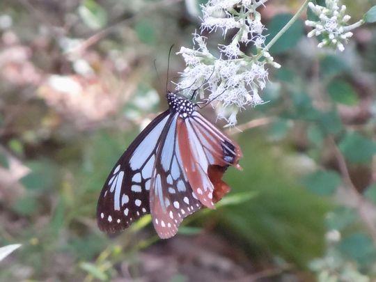 秋の花、秋の蝶_b0102572_16352734.jpg