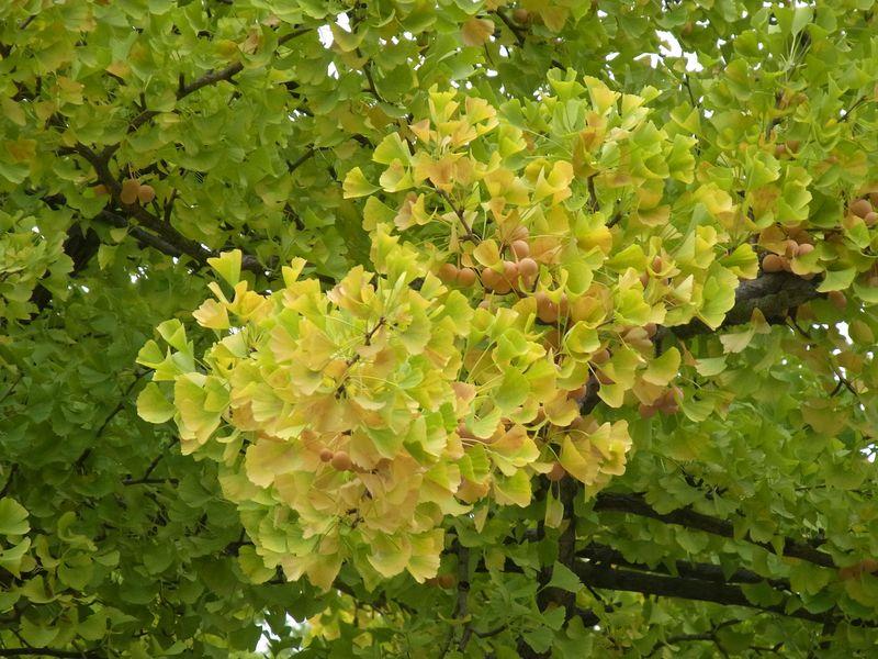 もっと寒い札幌 イチョウ並木黄葉始まる_c0025115_20195428.jpg